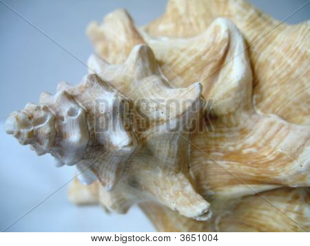 Close Up Conch Shell