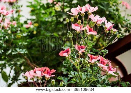Pink Flowers Of Geranium, Pelargonium, Geraniaceae. Ornamental Plant.
