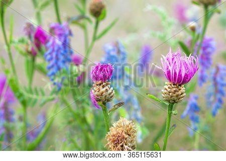 Beautiful Flowers Blue Purple Blossom On A Spring Meadow. Wild Flowers Flowering On Field