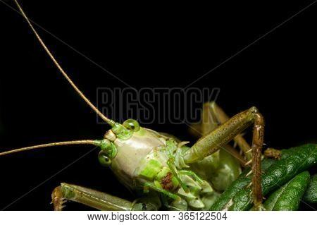 Close-up Of Curious, Goofy Looking Katydid (tettigoniidae). Green Insect Photographed In Natural Hab