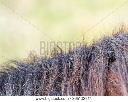 Horse Mane Close Up In Detail Shows Wavy Texture Of Animal Hair. Brown Horse Mane In The Farm