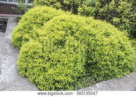 Light Green Round Bush Near The House. Round Trimmed Bushes In The Park, Green Hedge. Evergreen Shru