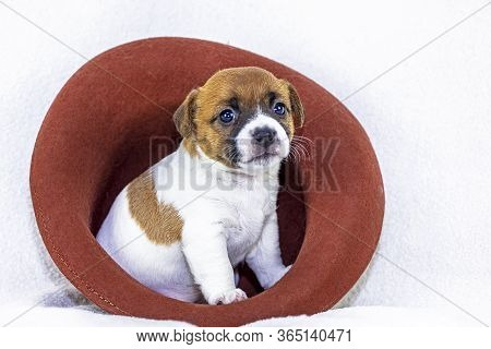 Cute Little Puppy Bitch Jack Russell Terrier Sits In A Felt Hat On A White Background. Four Weeks Fr