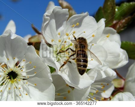 A Valuable Bee Collects Pollen During The Spring And Pollen Collection Season