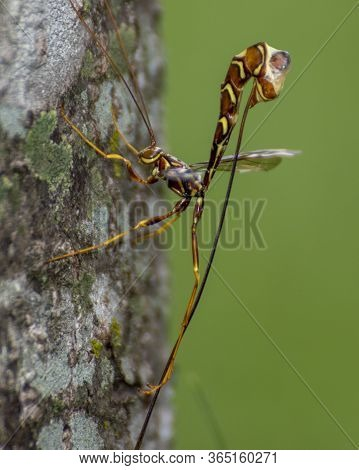 Long-tailed Giant Ichneumon Wasp On The Trunk Of A Tree.