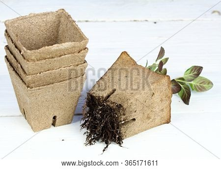 Potted Seedling Growing In Biodegradable Peat Moss. Pot Was Left On The Box With Soil, Roots Were Gr