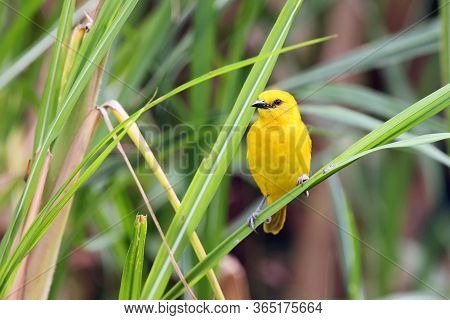 Holub's Golden Weaver (ploceus Xanthops), Also Called The African Golden Weaver Sitting On The Reed.