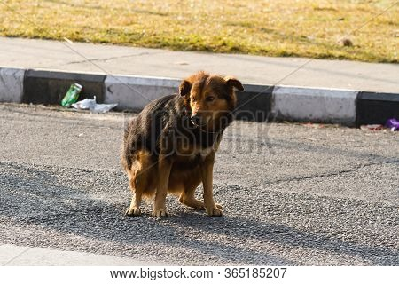 Brown Non-pedigree Dog Pooping On The Asphalt Road In The City.