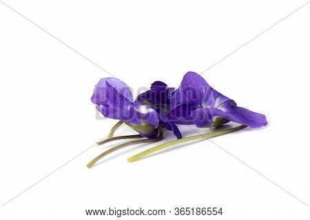 Purple Violet Viola Flower Against White Background With Space