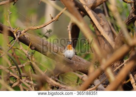 Robin Bird Sitting On Tree Branch, Close Up Of Robin Bird Background, Front View Of Beautiful Robin