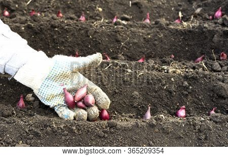 The Hand Of A Woman Farmer In A Glove, Sowing Onions In An Organic Garden, A Close-up Of The Hand Pl
