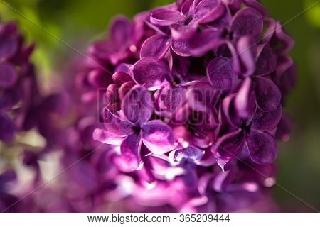 Macro Lilac Blossom Flowers Spring Background. Spring Lilac Blossom Bloom Macro View. Fresh Flowers