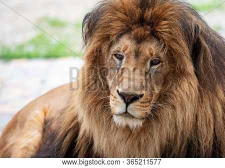 Portrait Of A Beautiful Lion With A Large Mane