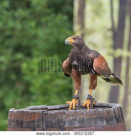 Harris's Hawk, The Bay-winged Hawk Or Dusky Hawk, A Medium-large Bird Of Prey. Harris's Hawks Have B