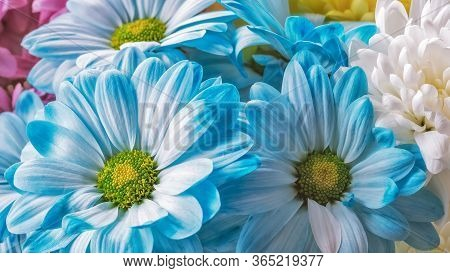 Blue Chrysanthemum With Green Core And Beautiful Petals. Hard Chrysanthemums, Korean Chrysanthemum,