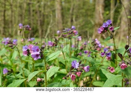 Violet Flowers In The Forest. Wild Flowers In Nature