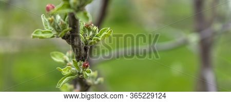 Buds Of Apple Tree. Young Green Leaves Blooming On The Tree. Unblown Bud Of Fruit Tree In Spring. Sp