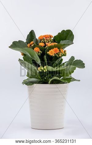 Flaming Katy Plant With Orange Yellow Flowers In A Pot Isolated On White Background