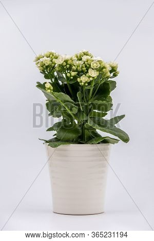 Flaming Katy Plant With White Flowers In A Pot Isolated On White Background