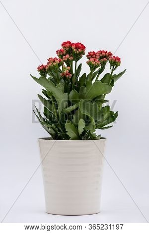 Flaming Katy Plant With Red Flowers In A Pot Isolated On White Background