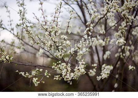 Spring flowering trees in the garden. The tree is covered with many white flowers. Apricot tree branch in the garden.