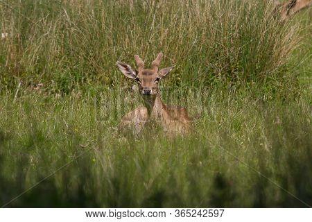 Male Fallow Deer Resting In Green Grass