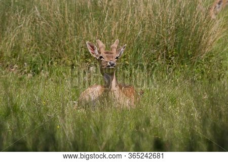 Male Fallow Deer Sitting In Green Grass