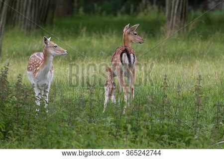Two Female Fallow Deer With A Young Fawn