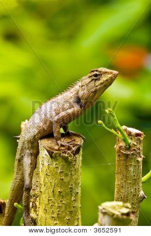 Attractiion In Pattaya- Lizard Thailand