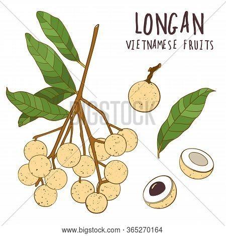 Longan Colorful Vector Set. Hand Drawn Tropical Vietnamese Fruit Illustration. Branch, Whole And Sli