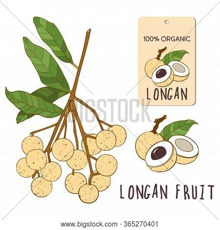Longan Vector Colorful Set. Hand Drawn Tropical Vietnamese Fruit Illustration. Branch, Composition A