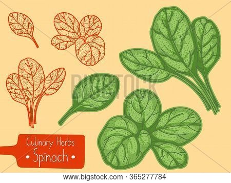 Leaves Of Food And Culinary Herb Spinach, Hand-draw Sketch Illustration