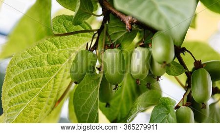 Branch With Actinidia Fruits And Green Leaves Close-up In The Garden. Selective Cultivation Of Culti
