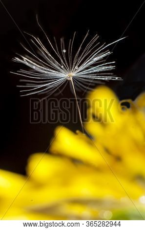 Yellow Dandelion And Umbrella With Seed And Droplets Close Up On A Dark Background