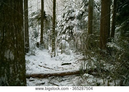 Pacific Northwest Forest Winter. A Snow Covered Temperate Rainforest In The Pacific Northwest.