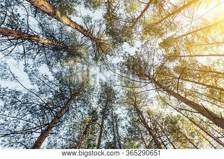 Sunrise Morning Coniferous Evergreen Nz Forest Warm Natural Landscape. Bottom To Top View Of Beautif