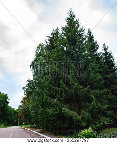 Spruce Coniferous Green Tall Coniferous Tree In The Park On A Summer Warm Day