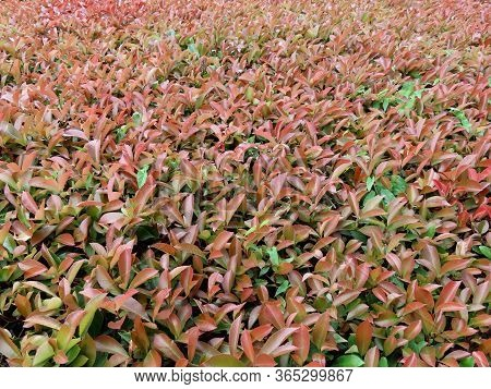Shrub With Red Tips Of Branches - Photinia Fraseri Red Robin - Later In Summer With More Subtle Colo