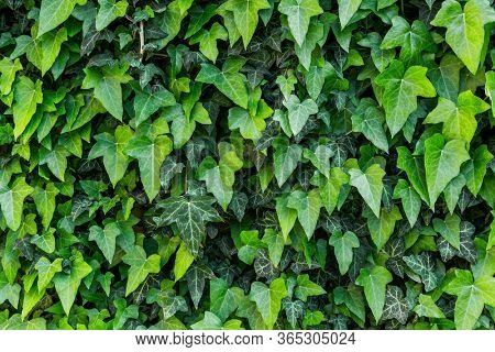 A wall of common ivy, Usuable as a background or texture