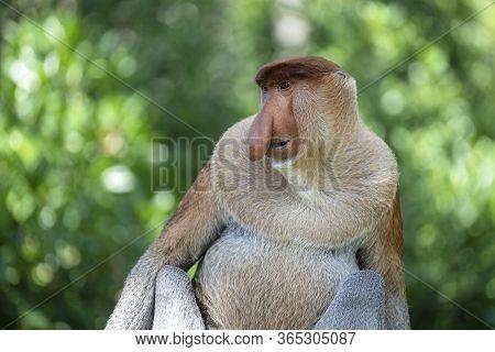 Portrait Of A Wild Proboscis Monkey Or Nasalis Larvatus, In The Rainforest Of Island Borneo, Malaysi