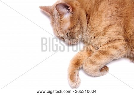 A Sleeping Red Cat Is Isolated On A White Background. Close Up. Euthanization Of Pets. Anesthesia Fo