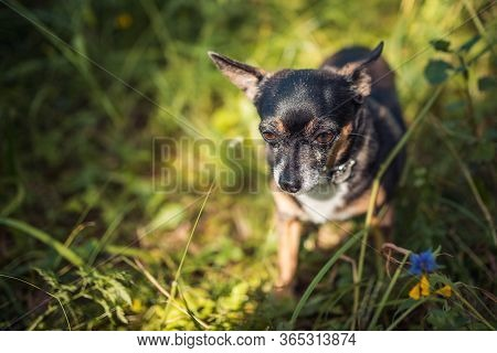 Russian Toy Terrier Plays In The Forest Under The Rays Of The Summer Sun