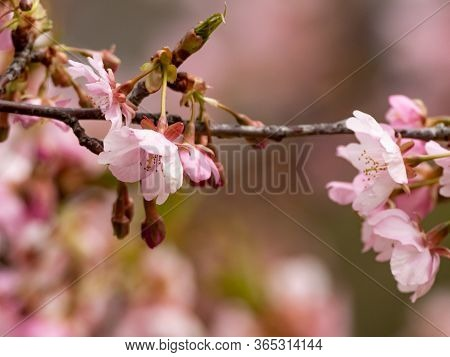 Japanese Plum Blossoms, Prunus Mume, Or Ume In Japanese, Bloom In A Park In Late February Near Yokoh