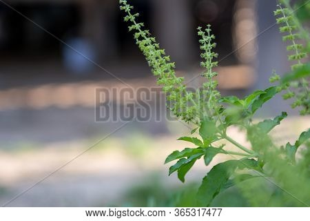 The Fresh Basil Plant Tree On Nature Background - Green Leaf And Purple Basil Flower Vegetable And H