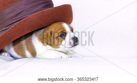 Cute Little Puppy Bitch Jack Russell Terrier On A White Background Hid Under A Felt Hat. Four Weeks