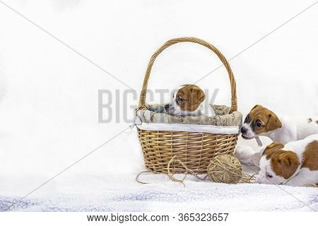 cute Three Puppies Bitches Jack Russell Terrier Play Near Easter Basket With A Ball Of Thread On A