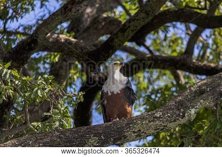 An African Fish Eagle Perched On A Tree Branch Over The Chobe River In Botswana.