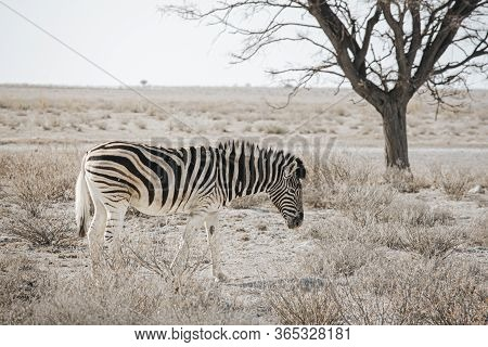 Lone Burchell's Zebra (equus Quagga Burchellii), Walking On Stony Ground, Etosha National Park, Nami