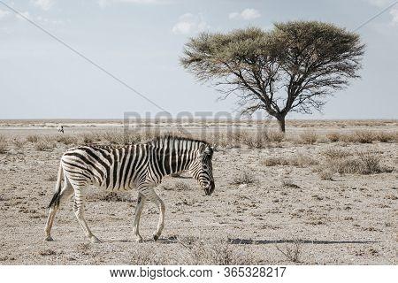 Lone Burchell's Zebra (equus Quagga Burchellii), Walking On Stony Ground With An Acacia Tree In The