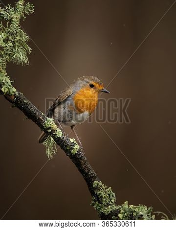 Beautiful Image Of Robin Red Breast Bird Erithacus Rubecula On Branch In Spring Sunshine